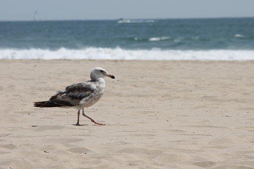 Seagull, Sea, Ocean, Animal, Bird, Nature, Water
