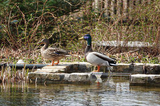 Water, Nature, Duck, Couple, He, She