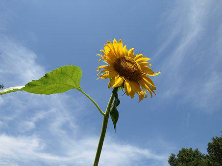 Sunflower, Sky, Flowers, Nature, Yellow, Plants