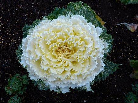 Cabbage, Flower, Vegetables, Garden, Plants, Decorative