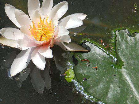 Water Lilies, Flower, Rosa, Water, Pond, Nature