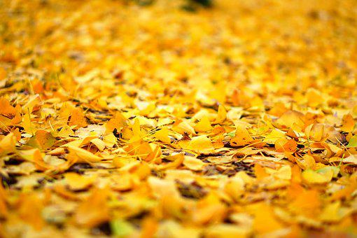 Leaf, Autumn, Natural, Plant, Wood, Yellow, Ginkgo Tree