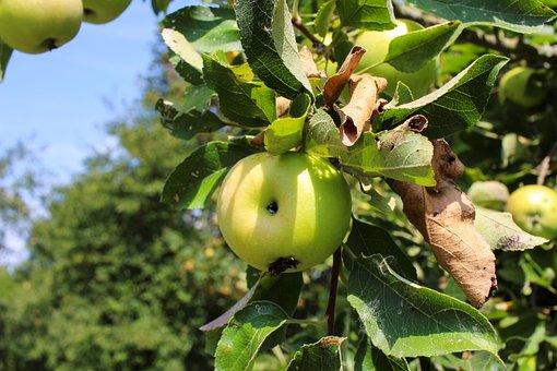 Apple, Tree, Apple Tree, Immature, Green, Sour, Fruity