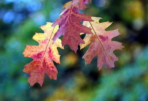 Fall Color, Leaves, Fall Leaves, Autumn, Tree, Emerge