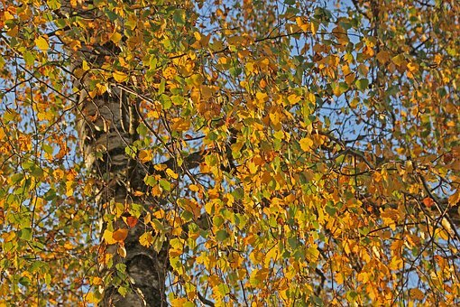 Autumn, Tree, Nature, Background, Forest, Leaves