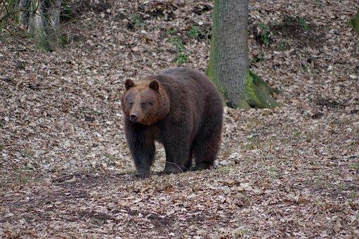 Animal, Bear, Brown, Nature