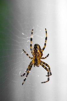Spider, Orange, Garden, Web, Arachnid, Legs, Buyukada