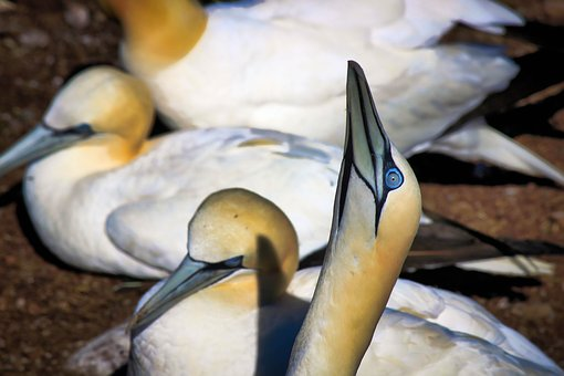 Gannets, Birds, Nature, Animal, Bonaventure Island, Eye