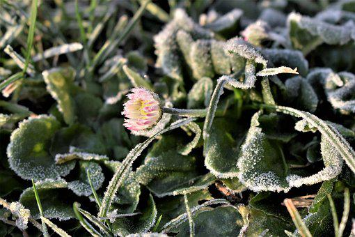 Flower, Frozen, Meadow, Rush, Frost, Winter, Cold, Ice