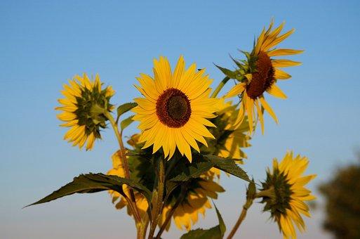 Sunflower, Summer, Flowers, Yellow, Nature, Blossom