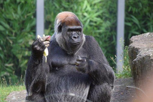 Gorilla, Food, Zoo, View, Creature, Animal Recording