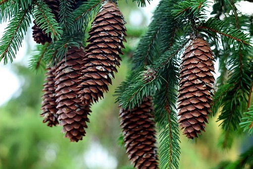 Cones, Needle Rollers, Christmas Tree, Forest, Needles