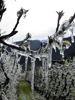 Eiswein, Vreisen, Vineyard, Frost, Winegrowing, Winter