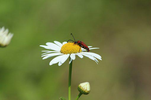 Daisy, Beetle, Insect, Red Beetle, Nature, Flower