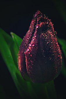 Tulip, Drip, Flower, Plant, Nature, Spring, Water