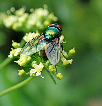Fly, Insect, Pest, Garden, Nature