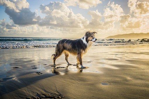 Collie, Dog, Beach, Pet, Animal, Cute, Byron Bay