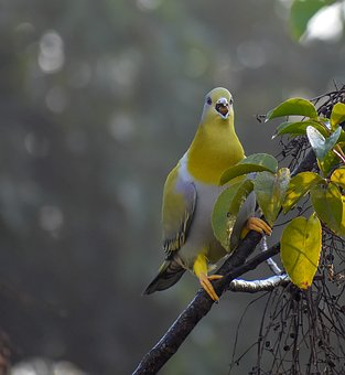 Catch, Yellow, Footed, Green, Pigeon, Maligaon