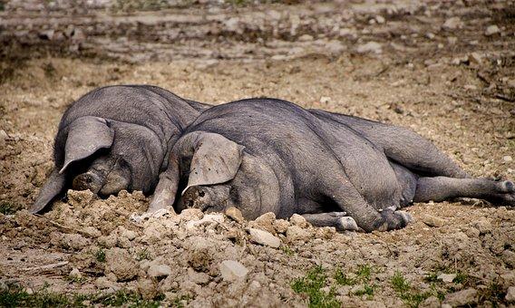 Pig, Sleep, Lazing Around, Farm, Animal, Piglet, Sow