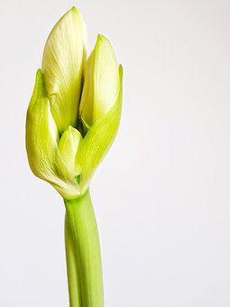 Hippeastrum, Bud, Plant, Bulbous, Indoor, Bloom