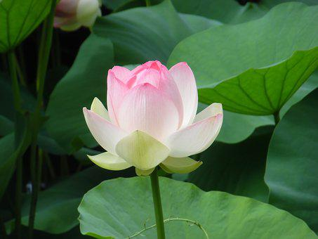 Lotus, Flower, Pond
