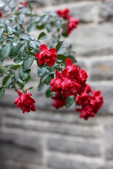 Flowers, Red, Wet, Rain, Fairy Tales, Wall