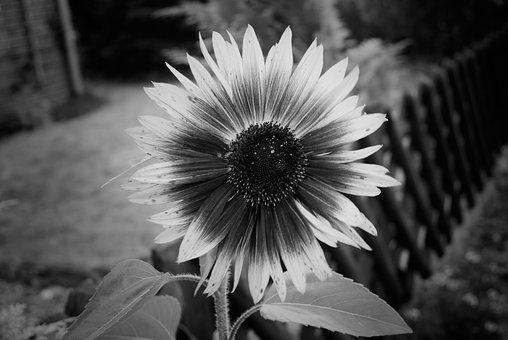 Sunflower, Flower, Plant, Close Up, Black White