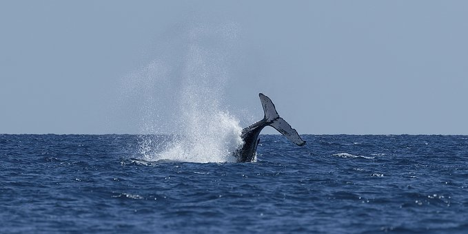 Whale, Tail, Water, Ocean, Mammal, Wildlife, Nature