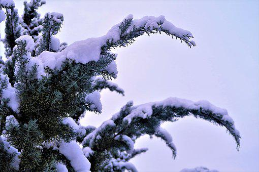 Snow, Winter, Tree, Juniper, Cold, Nature, Landscape