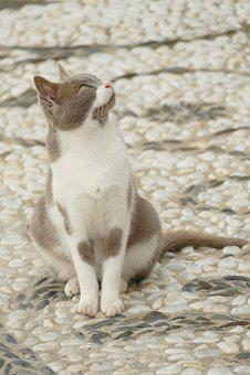 Cat, Cats, Pet, Mammal, White, Grey, Watch, Street
