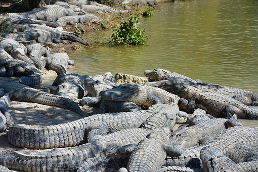 Alligators, Wild, Crocodile, Predator, Nature, Wildlife
