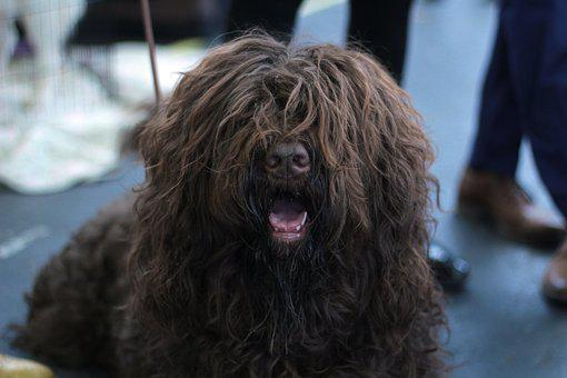 Barbet, Dog, Dogshow, Brown, Portrait, Long-haired