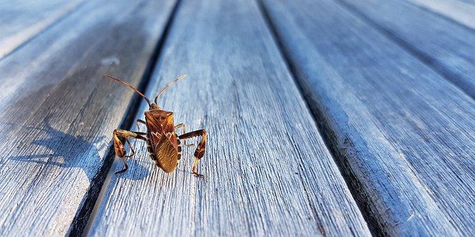 American Pine Bug, Bug, Beetle, Insect, Animal, Nature