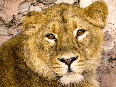 Animals, Predator, Lion, Big Cat, Carnivores, Wild