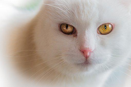 Cat, Pet, Domestic Cat, Animal, Cat Face, Animal World