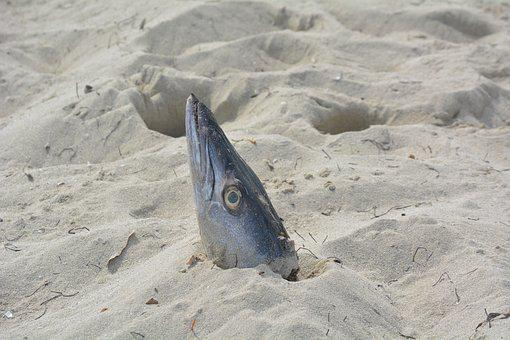 Fish Head, Beach, Cuba, Fish, Sand, Death, Coast, Aas
