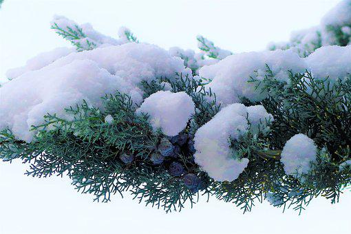Snow, Winter, White, Cold, Branch, Pine, Juniper
