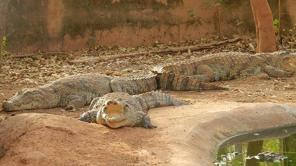 Crocodiles, Africa, Burkina Faso, Crocodile, Animals