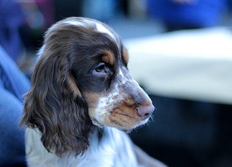 Cocker Spaniel, Puppy, Dogshow, Cute, Adorable, Doggy
