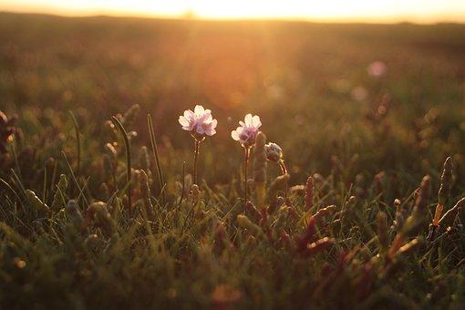 Samphire, Nature, Flower, Summer, Meadow, Flora
