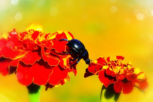 Forest Beetle, The Beetle, Flower, Marigold, Insect