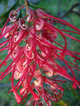 Flower, Red, Grevillea, Australian, Native, Shrub