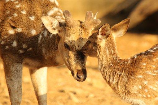 Deer, Spotted Deer, Female, Fawn, Love, Kiss