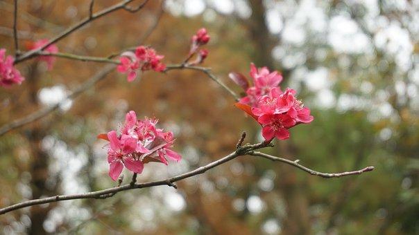 Plum Blossom, Branch, Flower, Red, Blur, Natural