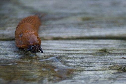 Mördarsnigel, Spanish Slug, Disgusting, Animals, Nature
