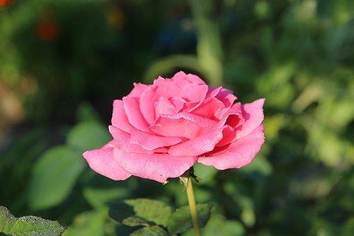 Rose, Flower, Pink Rose, Nature, Closeup, Plant