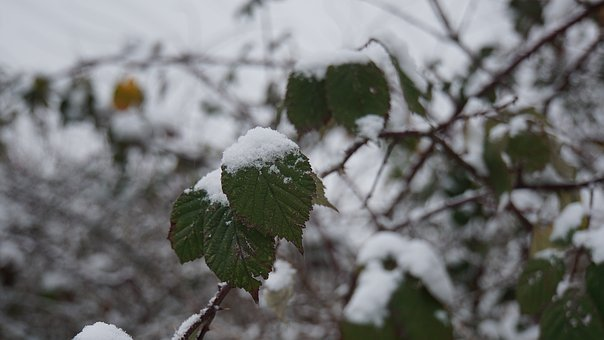 Winter, Snow, Leaves, White, Green, Landscape, Nature