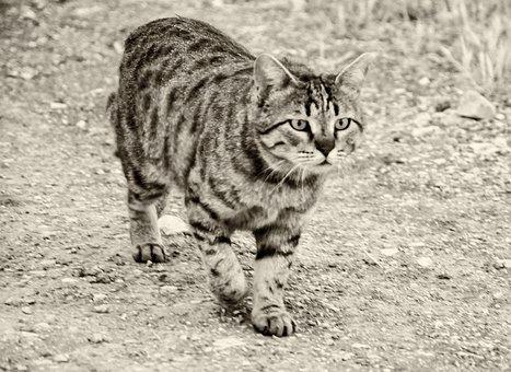 Cat, Pet, Animal, Kitten, Portrait, Fur, Eyes