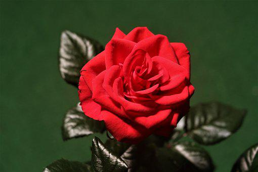 Rose, Red, Flower, Plant, Bloom