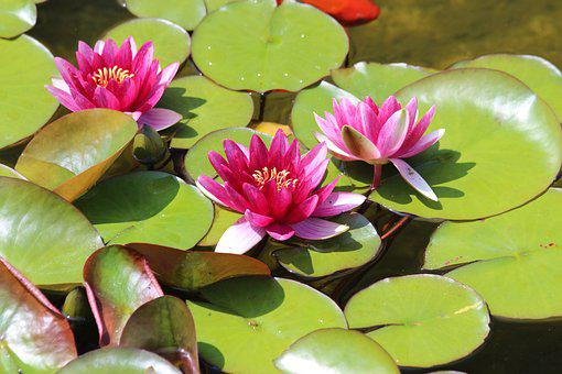Water Lilies, Leaves, Pond, Nature, Water, Green, Plant